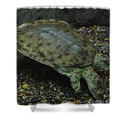 Pig-nosed Turtle Shower Curtain