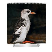 Pigeon Guillemot Juvenile Shower Curtain