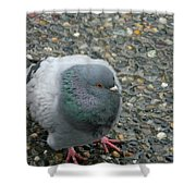 Pigeon  Shower Curtain