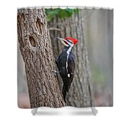Pileated Woodpecker Foraging Shower Curtain