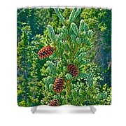 Pine Cones On Spruce Tree In Rancheria Falls Recreation Site-yt Shower Curtain