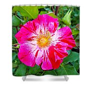 Pink And Red Striped Rose Shower Curtain