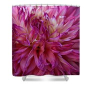 Pink And White Dahlia  Shower Curtain