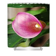 Pink Cala Lily Shower Curtain