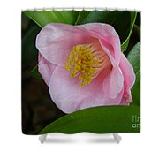 Pink Camellia About To Bloom Shower Curtain