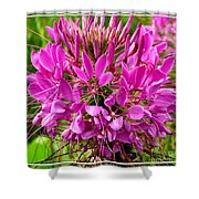 Pink Cleome Flower Shower Curtain