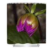Pink Dahlia Bud Shower Curtain