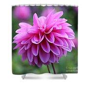 Pink Dahlia Closeup Shower Curtain