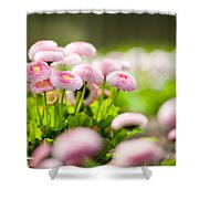 Bellis Perennis Pomponette Called Daisy Blooming  Shower Curtain