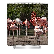 Pink Falmingos At The San Diego Zoo Shower Curtain