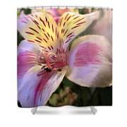 Pink Glow Lily  Shower Curtain