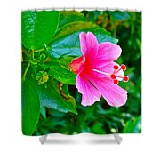 Pink Hibiscus Near Celadon Factory In Chiang Mai-thailand Shower Curtain