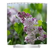 Pink Lilacs And Green Leaves - Featured 3 Shower Curtain