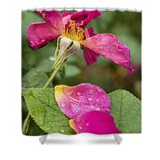 Pink Rose And Its Petals Shower Curtain