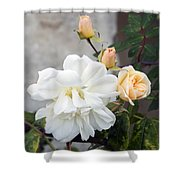 Pink Rose Buds At Carmel By The Sea Mission Shower Curtain