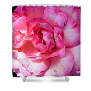 Rose With Touch Of Pink Shower Curtain