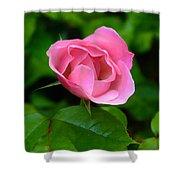 Pink Rose Volunteer Shower Curtain