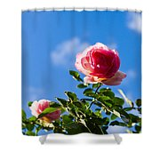 Pink Roses - Featured 3 Shower Curtain
