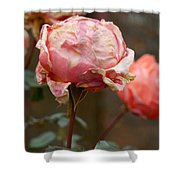Pink Roses In The First Snow Shower Curtain