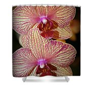 Pink Striped Orchids Shower Curtain
