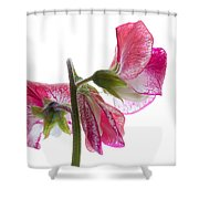Pink Sweet Pea Shower Curtain