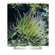 Pink Tipped Giant Sea Anemone Shower Curtain