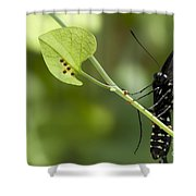 Pipevine Swallowtail Mother With Eggs Shower Curtain