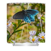 Pipevine Swallowtail On Asters Shower Curtain