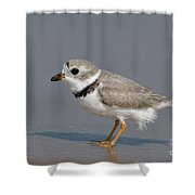 Piping Plover Charadrius Melodus Shower Curtain