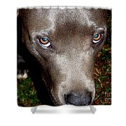 Pit Bull - 1 Shower Curtain