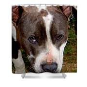 Pit Bull - 2 Shower Curtain