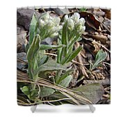 Plantain-leaved Pussytoes Wildflowers - Antennaria Plantaginifolia Shower Curtain