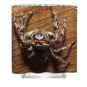 Platycryptus Undatus Shower Curtain