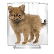 Pomeranian Puppy Dog Shower Curtain