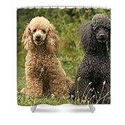 Poodle Dogs Shower Curtain