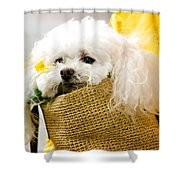 Poodle In Pouch Shower Curtain