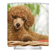 Poodle Shower Curtain