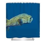 Porcupine Pufferfish Shower Curtain