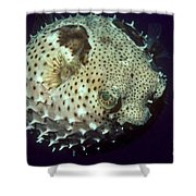 Porcupinefish Shower Curtain