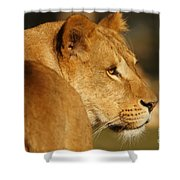 Portrait Of A Dreamy Lioness  Shower Curtain