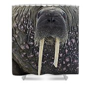 Portrait Of A Walrus Shower Curtain
