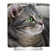 Portrait Of An Ameriican Shorthair Cat Shower Curtain