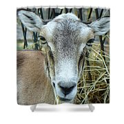 Portrait Of Mouflon Ewe Shower Curtain