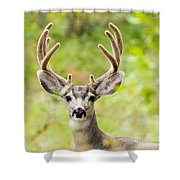 Portrait Of Mule Deer Buck With Velvet Antler  Shower Curtain