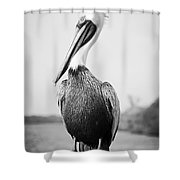 Posing Pelican - Black And White Shower Curtain