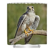 Praire Falcon On Dead Branch Shower Curtain