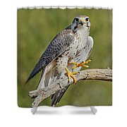 Prairie Falcon Shower Curtain