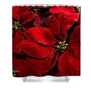 Pretty Poinsettias  Shower Curtain