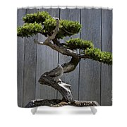 Prostrate Juniper Bonsai Tree Shower Curtain