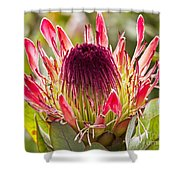 Protea Sugarbush Shower Curtain